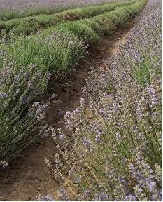 Lavendel geoogst