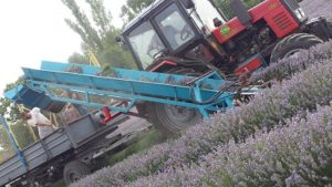 Lavendel oogsten