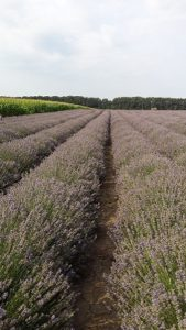 Lavendel plantages
