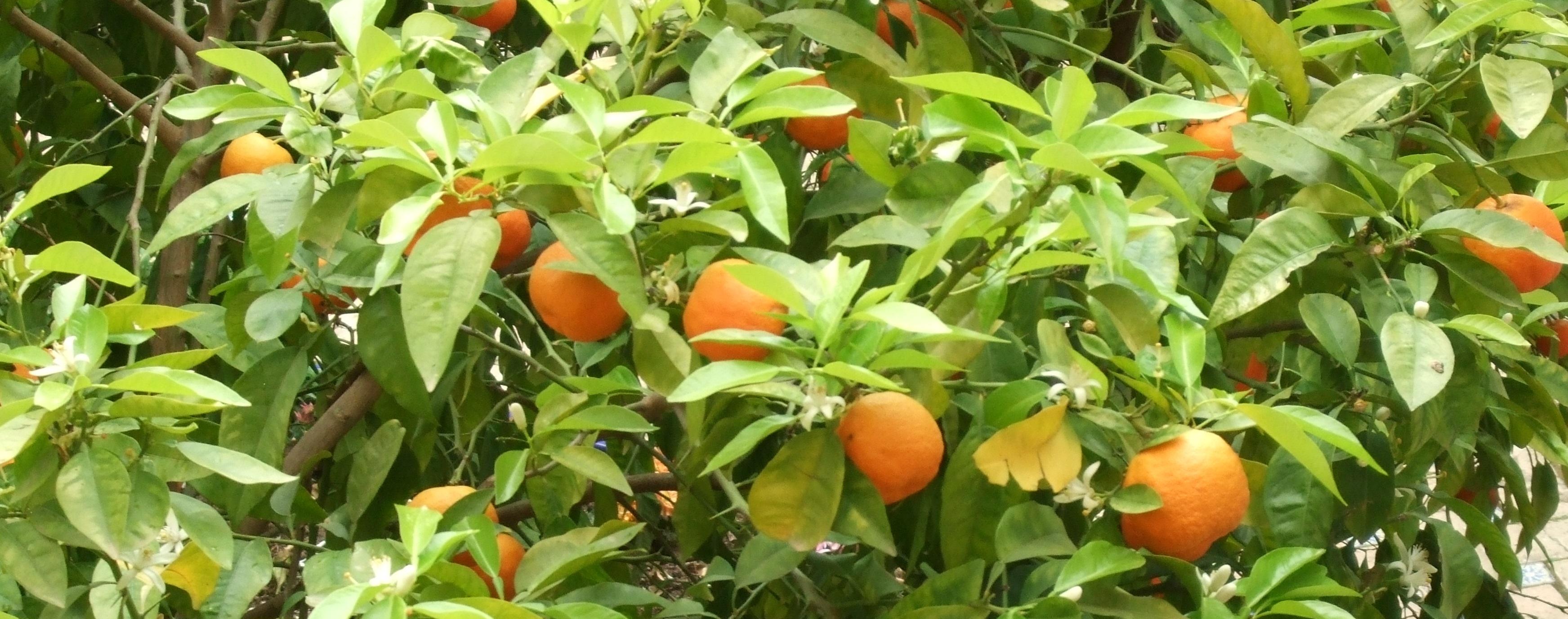 Wilde Sinaasappel