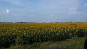 Zonnebloem velden