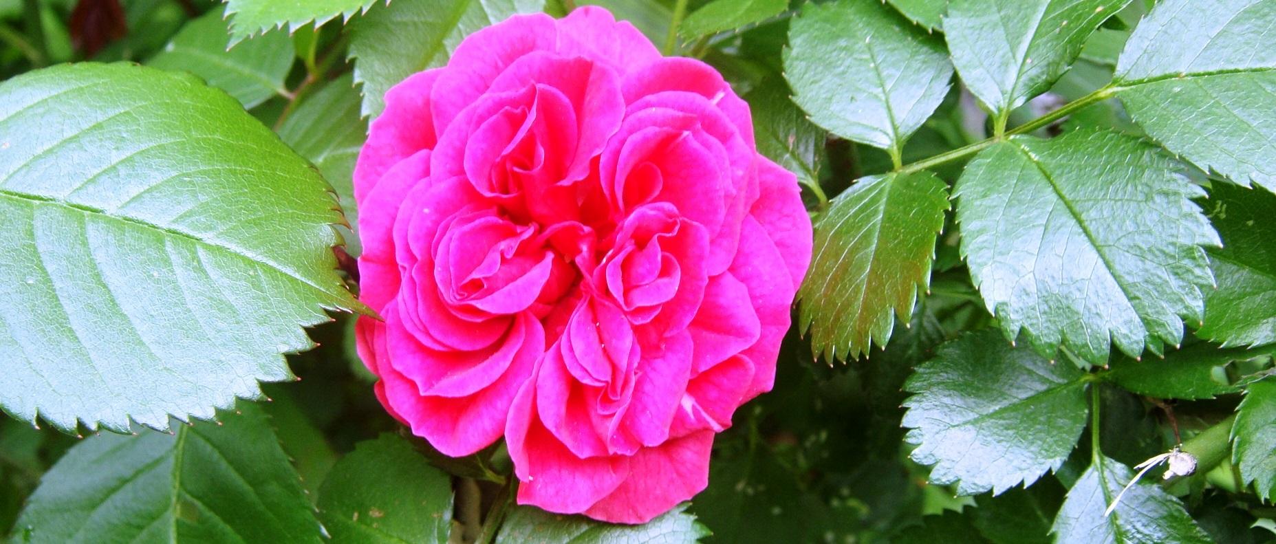 rozenolie