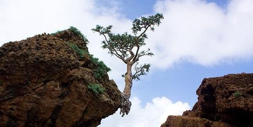 wierookboom